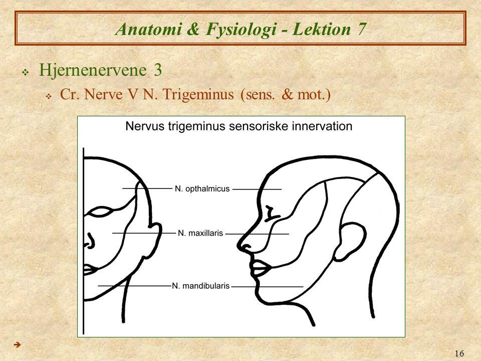 16 Anatomi & Fysiologi - Lektion 7  Hjernenervene 3  Cr. Nerve V N. Trigeminus (sens. & mot.) 