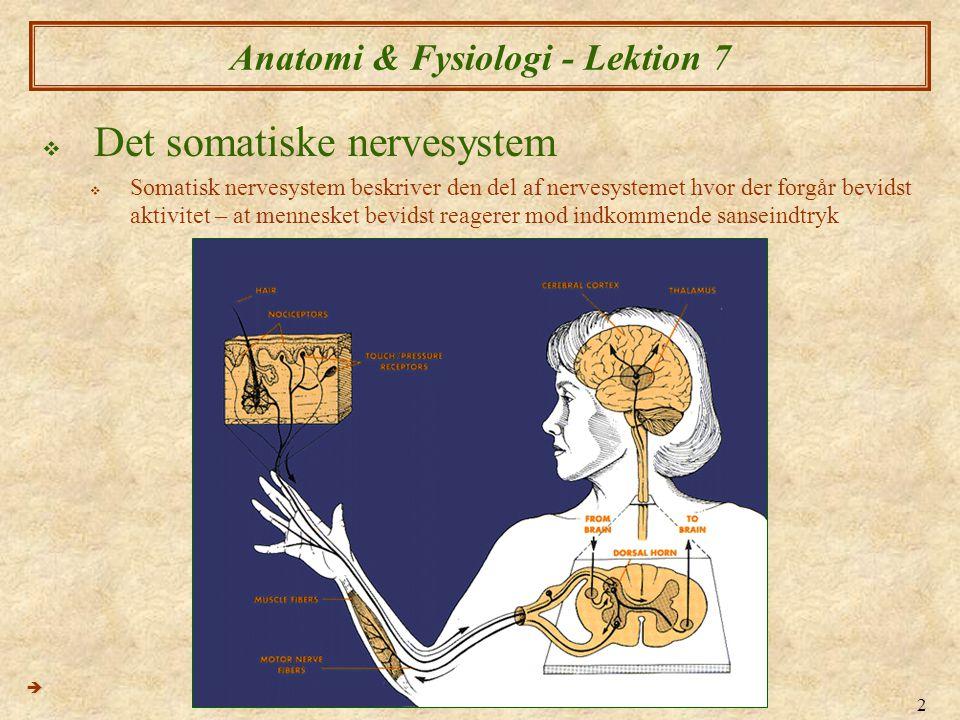2 Anatomi & Fysiologi - Lektion 7  Det somatiske nervesystem  Somatisk nervesystem beskriver den del af nervesystemet hvor der forgår bevidst aktivi