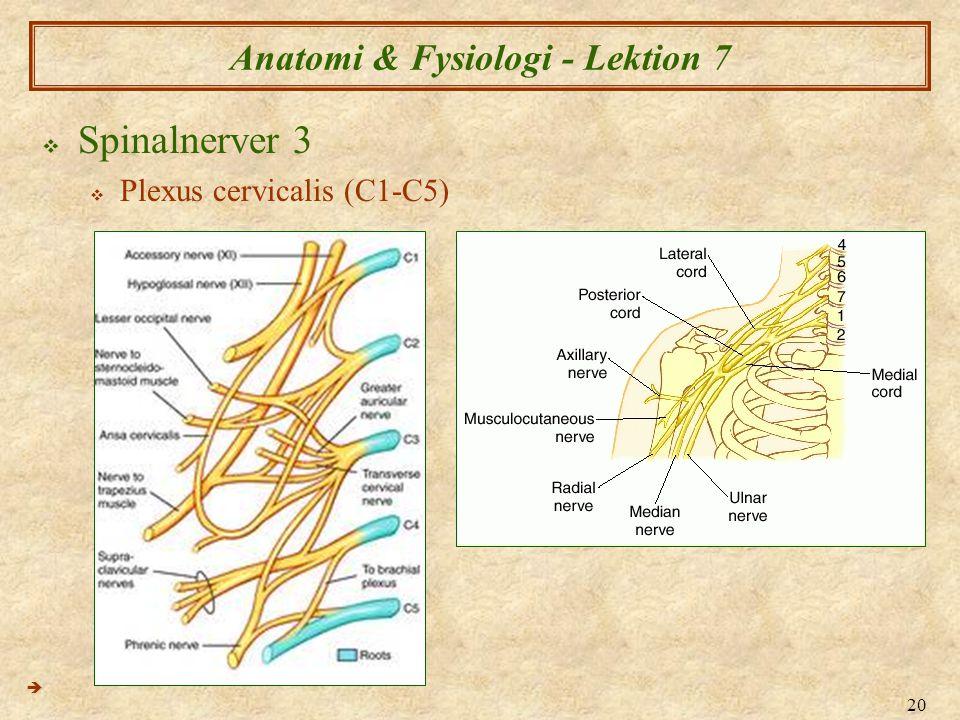 20 Anatomi & Fysiologi - Lektion 7  Spinalnerver 3  Plexus cervicalis (C1-C5) 