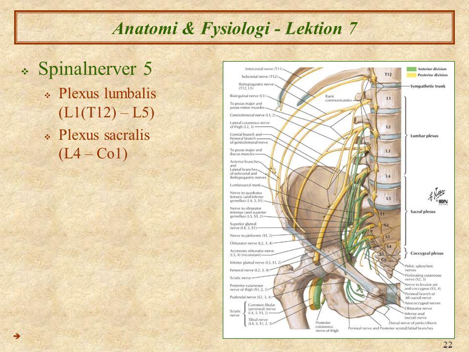 22 Anatomi & Fysiologi - Lektion 7  Spinalnerver 5  Plexus lumbalis (L1(T12) – L5)  Plexus sacralis (L4 – Co1) 