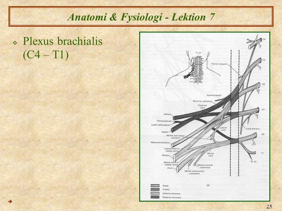 25 Anatomi & Fysiologi - Lektion 7  Plexus brachialis (C4 – T1) 