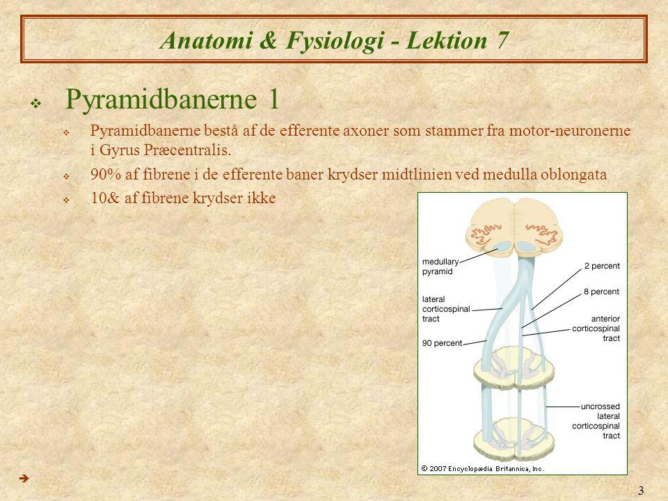 3 Anatomi & Fysiologi - Lektion 7  Pyramidbanerne 1  Pyramidbanerne bestå af de efferente axoner som stammer fra motor-neuronerne i Gyrus Præcentral