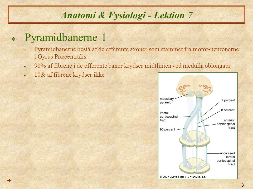 24 Anatomi & Fysiologi - Lektion 7  Patologi i de plexus cervicalis spinal nerver 