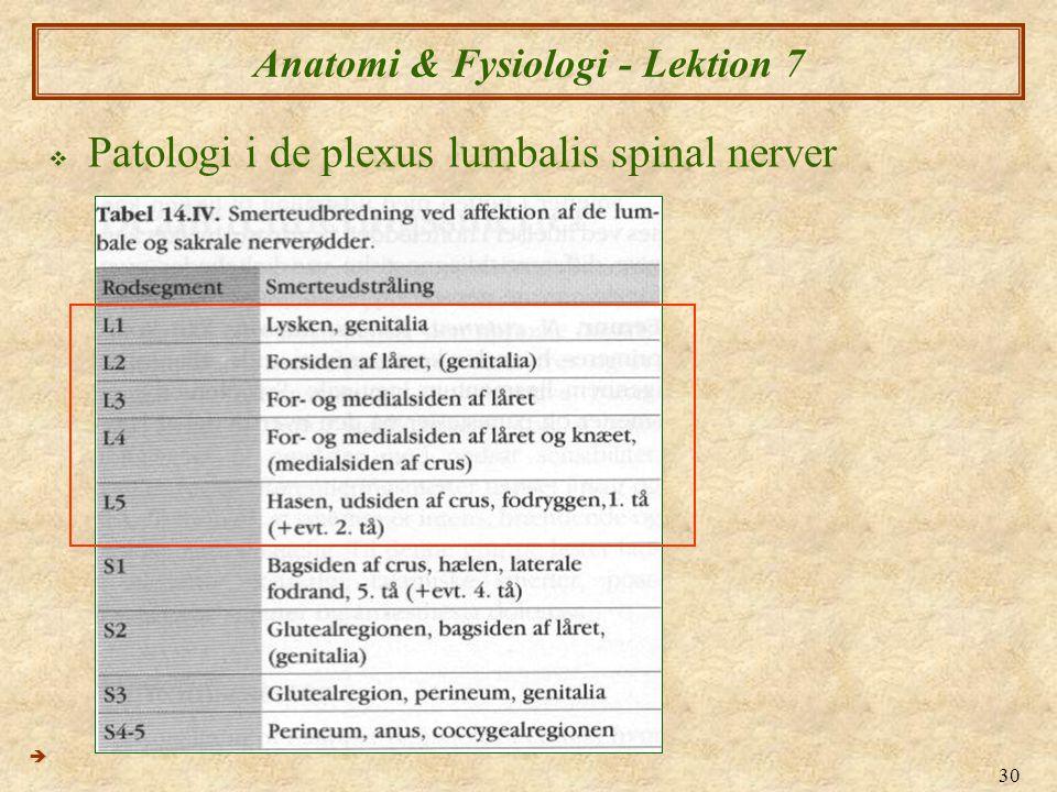 30 Anatomi & Fysiologi - Lektion 7  Patologi i de plexus lumbalis spinal nerver 