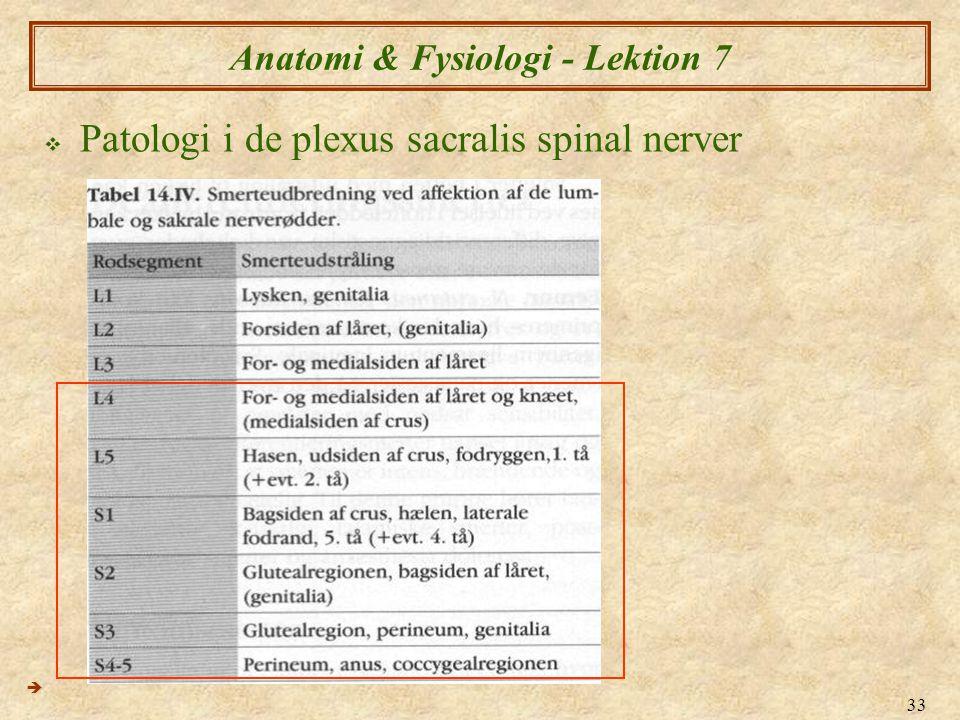 33 Anatomi & Fysiologi - Lektion 7  Patologi i de plexus sacralis spinal nerver 
