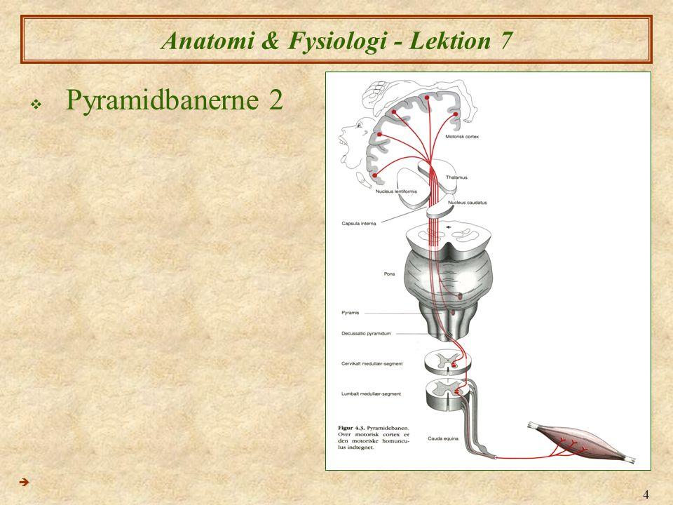 5 Anatomi & Fysiologi - Lektion 7  Pyramidbanerne 3 