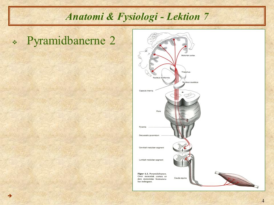 15 Anatomi & Fysiologi - Lektion 7  Hjernenervene 2  IN.