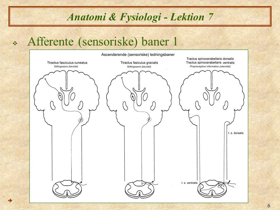 7 Anatomi & Fysiologi - Lektion 7  Afferente (sensoriske) baner 2 