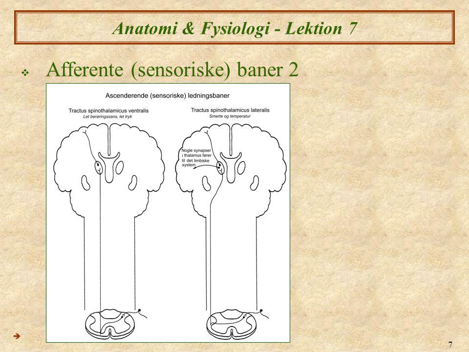 18 Anatomi & Fysiologi - Lektion 7  Spinalnerver 1 