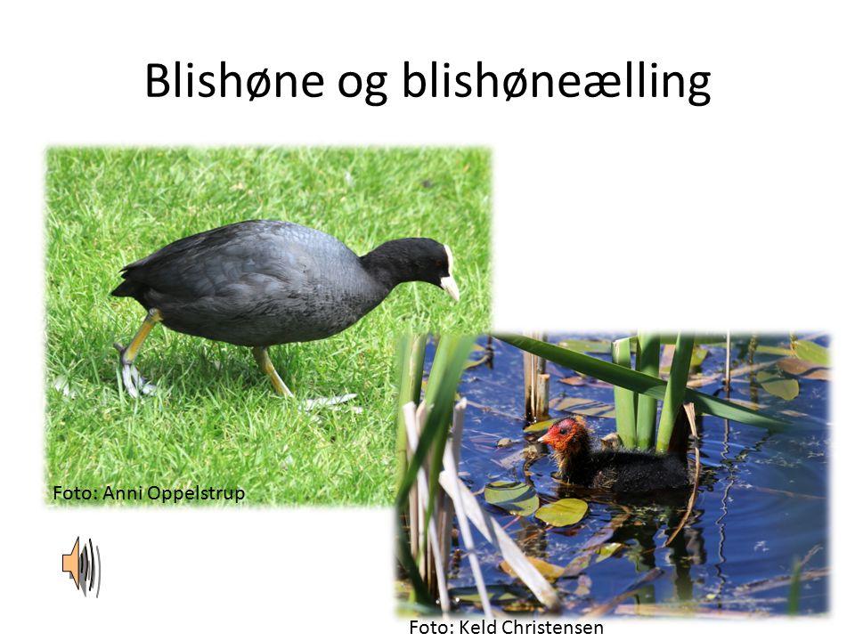 Blishøne og blishøneælling Foto: Anni Oppelstrup Foto: Keld Christensen