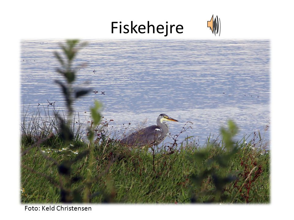 Fiskehejre Foto: Keld Christensen