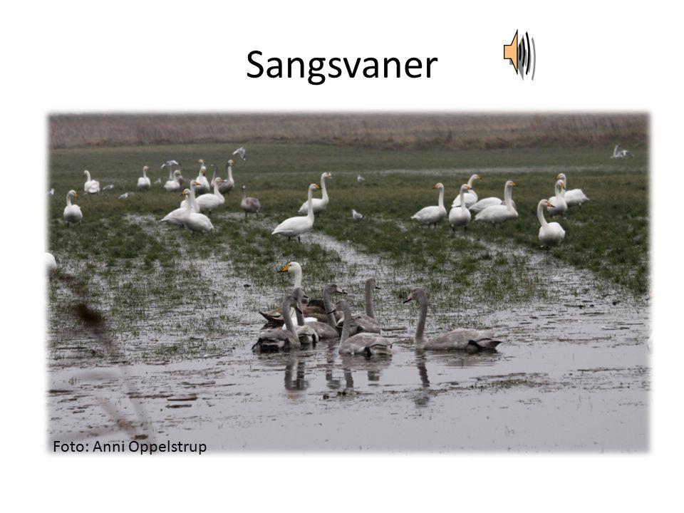 Sangsvaner Foto: Anni Oppelstrup