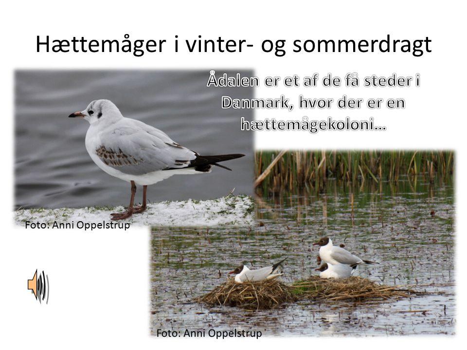 Hættemåger i vinter- og sommerdragt Foto: Anni Oppelstrup