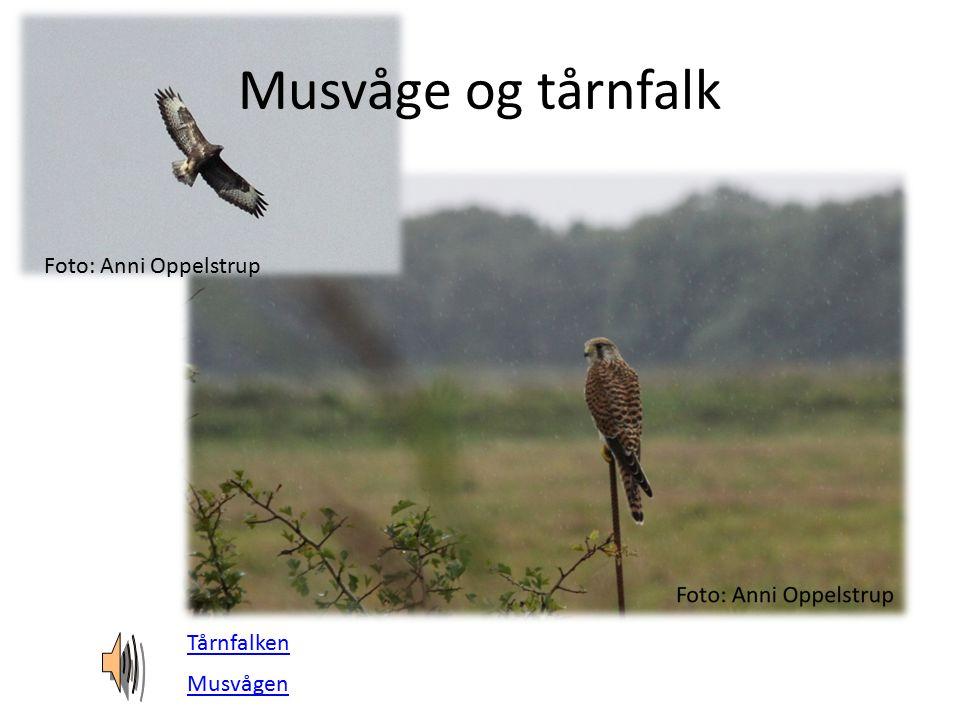 Musvåge og tårnfalk Foto: Anni Oppelstrup Tårnfalken Musvågen