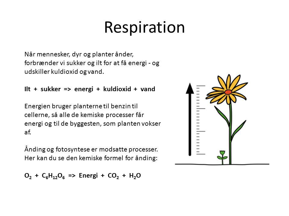 Respiration Når mennesker, dyr og planter ånder, forbrænder vi sukker og ilt for at få energi - og udskiller kuldioxid og vand. Ilt + sukker => energi