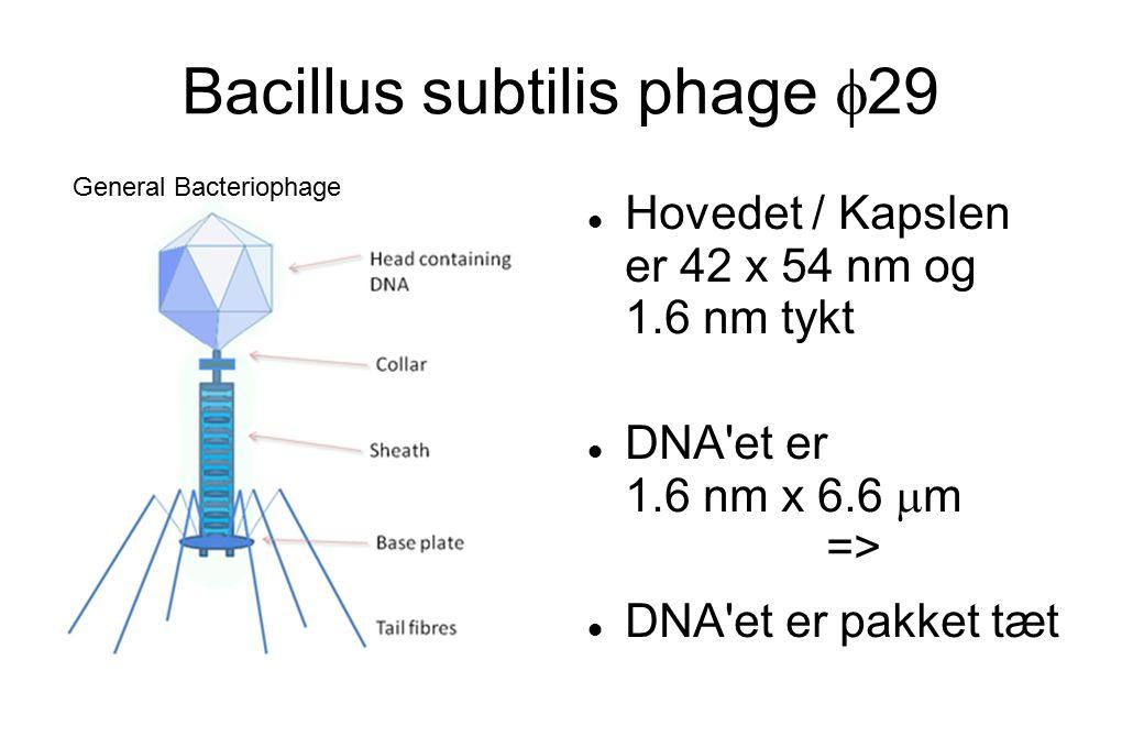 Bacillus subtilis phage  29 Hovedet / Kapslen er 42 x 54 nm og 1.6 nm tykt DNA et er 1.6 nm x 6.6  m => DNA et er pakket tæt General Bacteriophage