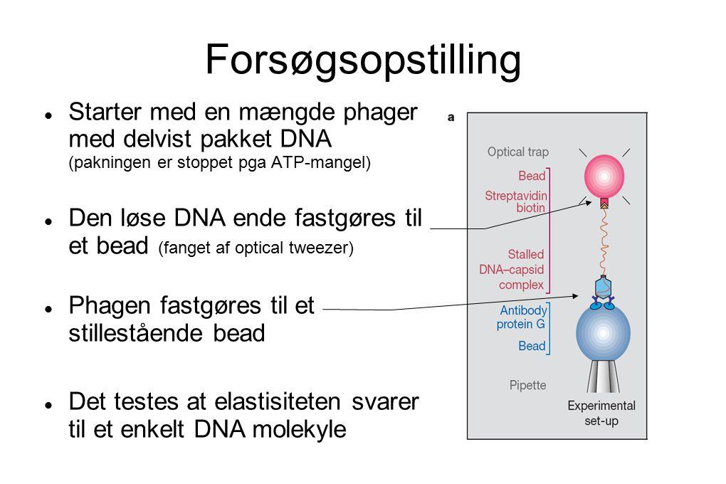 Forsøgsopstilling Starter med en mængde phager med delvist pakket DNA (pakningen er stoppet pga ATP-mangel) Den løse DNA ende fastgøres til et bead (fanget af optical tweezer) Phagen fastgøres til et stillestående bead Det testes at elastisiteten svarer til et enkelt DNA molekyle