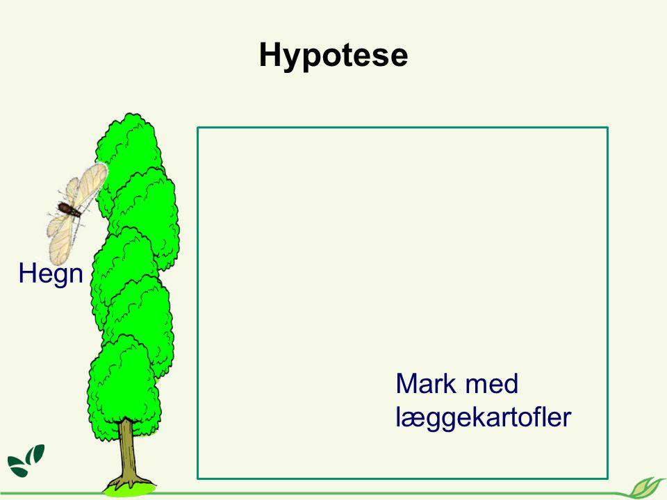 Hypotese Hegn Mark med læggekartofler