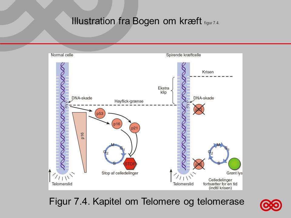 Illustration fra Bogen om kræft figur 7.4. Figur 7.4. Kapitel om Telomere og telomerase