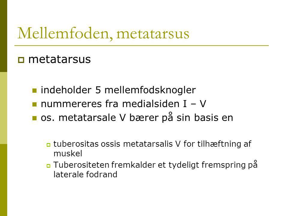Mellemfoden, metatarsus  metatarsus indeholder 5 mellemfodsknogler nummereres fra medialsiden I – V os.