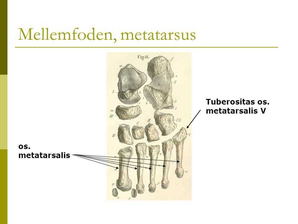 Mellemfoden, metatarsus os. metatarsalis Tuberositas os. metatarsalis V