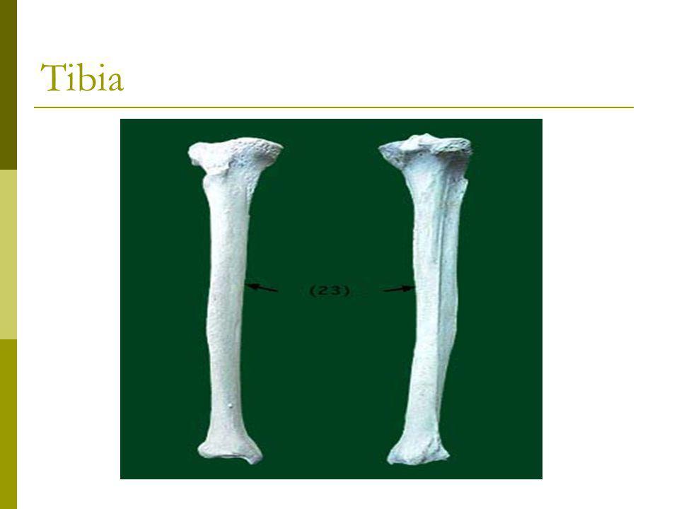 Underbensknoglerne  Distalt danner tibia ledskål til fodleddet  Distalt og medialt bliver tibia fortykket i en knude malleolus medialis tibiae = knyst