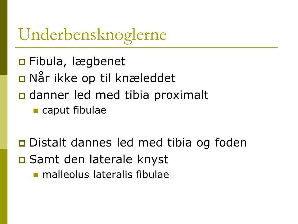 Underbensknoglerne  Fibula, lægbenet  Når ikke op til knæleddet  danner led med tibia proximalt caput fibulae  Distalt dannes led med tibia og foden  Samt den laterale knyst malleolus lateralis fibulae