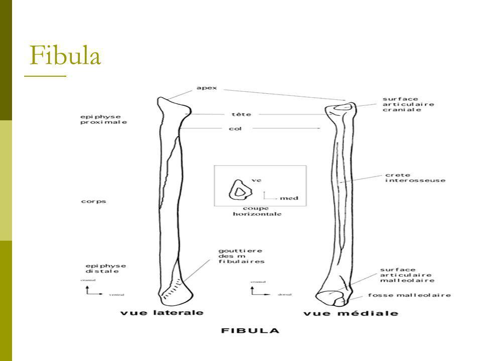 Underbensknoglerne  Mellem tibia og fibula findes en stærk og kraftig membran membrana interossea muskler udspringer og hæfter fra membranen