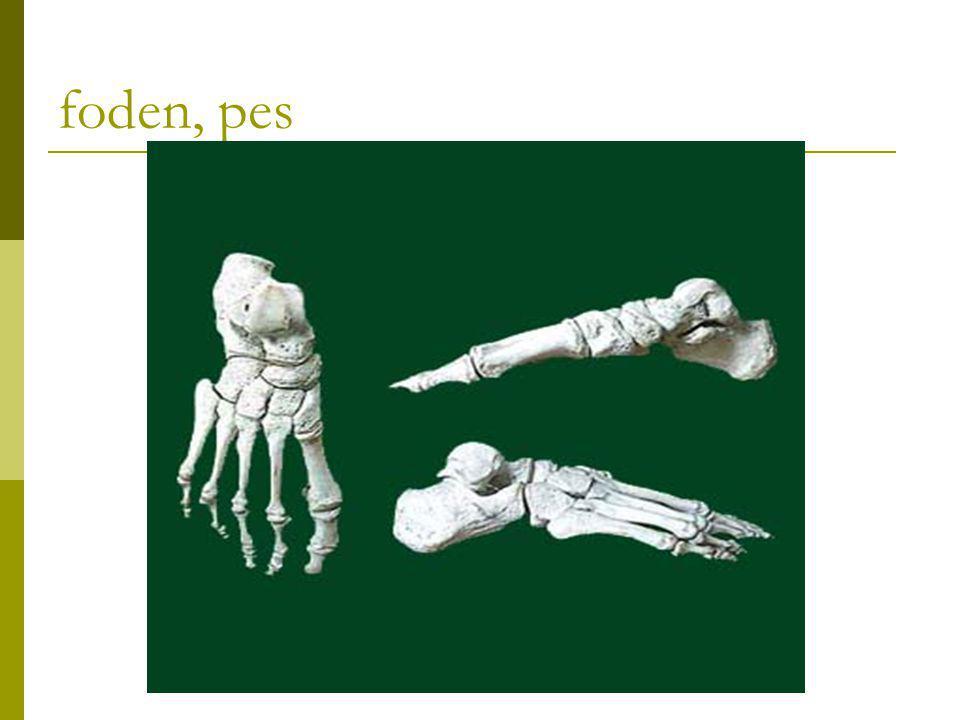 Fodroden  Tarsus består af 7 knogler, ossa tarsi rullebenet, os.talus hælbenet, os.