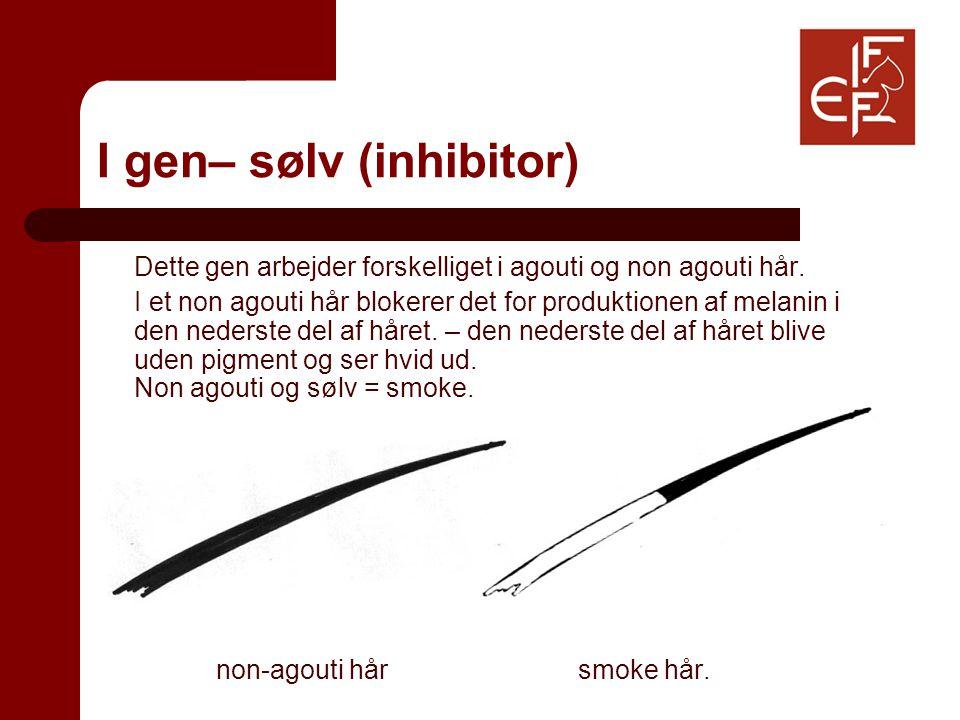 I gen– sølv (inhibitor) Dette gen arbejder forskelliget i agouti og non agouti hår.