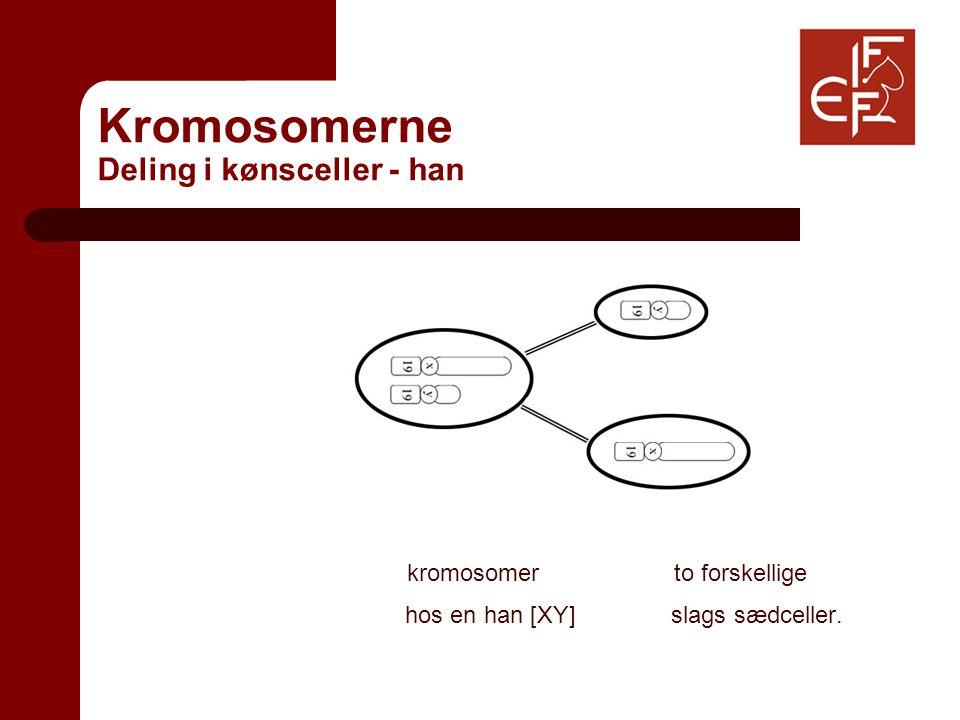 Kromosomerne Deling i kønsceller - han kromosomer to forskellige hos en han [XY] slags sædceller.