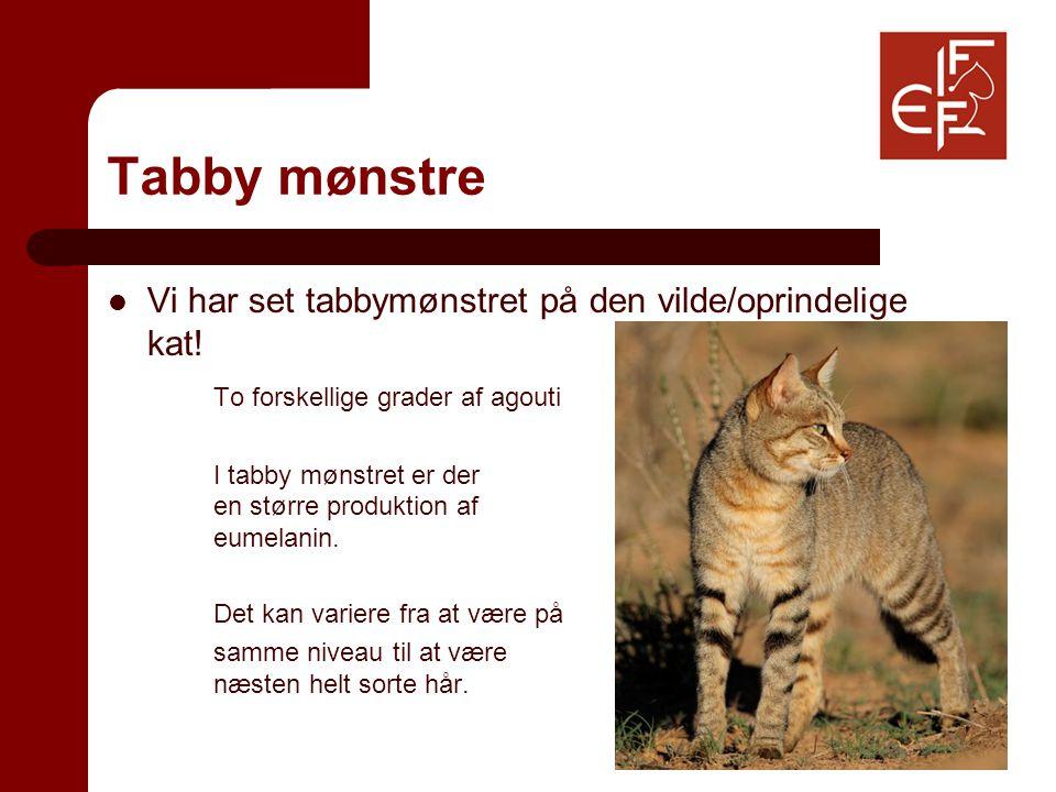 Tabby mønstre Vi har set tabbymønstret på den vilde/oprindelige kat.