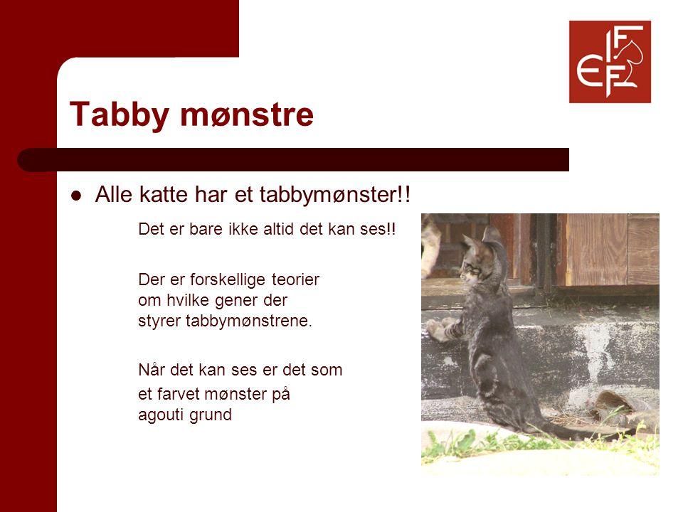 Tabby mønstre Alle katte har et tabbymønster!. Det er bare ikke altid det kan ses!.