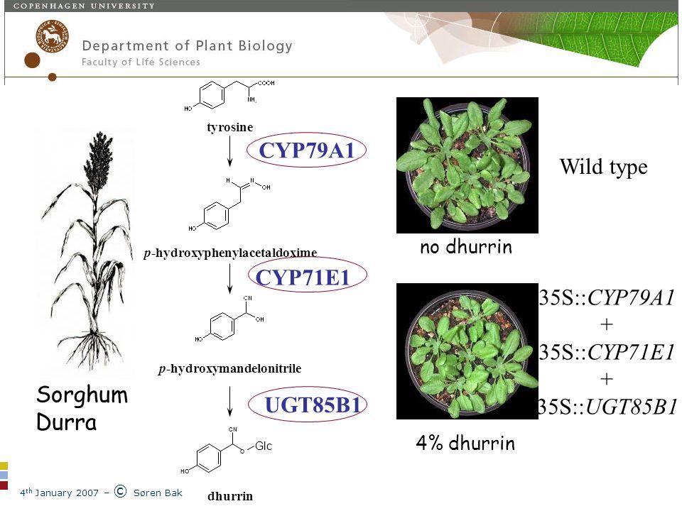 4 th January 2007 – © Søren Bak Plantebiokemisk laboratorium Wild type 35S::CYP79A1 + 35S::CYP71E1 + 35S::UGT85B1 4% dhurrin no dhurrin Sorghum Durra dhurrin tyrosine p-hydroxyphenylacetaldoxime p-hydroxymandelonitrile CYP79A1 CYP71E1 UGT85B1 O CN HO Glc