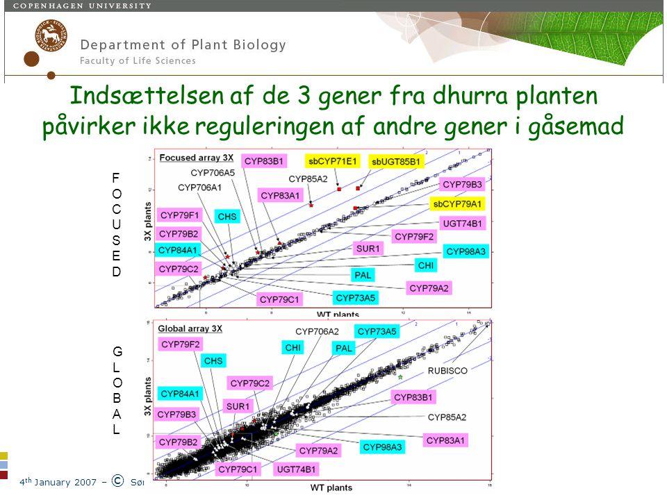 4 th January 2007 – © Søren Bak Plantebiokemisk laboratorium Indsættelsen af de 3 gener fra dhurra planten påvirker ikke reguleringen af andre gener i gåsemad FOCUSEDFOCUSED GLOBALGLOBAL