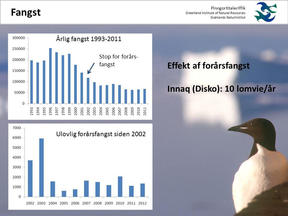 Pinngortitaleriffik Greenland Institute of Natural Resources Grønlands Naturinstitut Fangst Stop for forårs- fangst Effekt af forårsfangst Innaq (Disko): 10 lomvie/år Ulovlig forårsfangst siden 2002 Årlig fangst 1993-2011