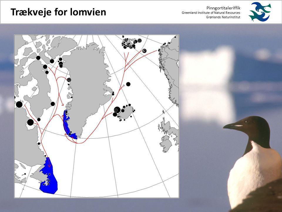 Pinngortitaleriffik Greenland Institute of Natural Resources Grønlands Naturinstitut Trækveje for lomvien