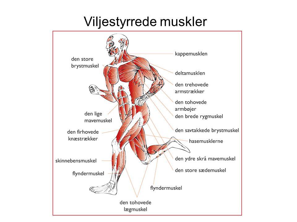 Viljestyrrede muskler