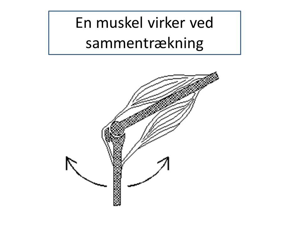 En muskel virker ved sammentrækning