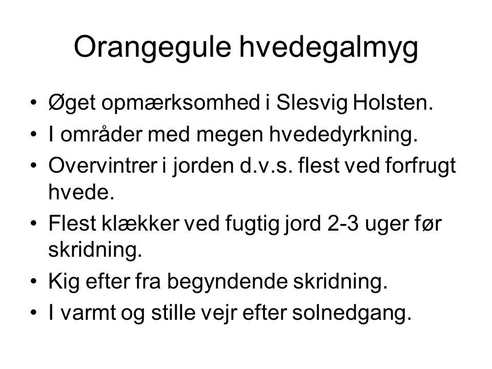 Orangegule hvedegalmyg Øget opmærksomhed i Slesvig Holsten.