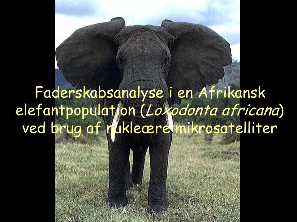 Faderskabsanalyse i en Afrikansk elefantpopulation (Loxodonta africana) ved brug af nukleære mikrosatelliter