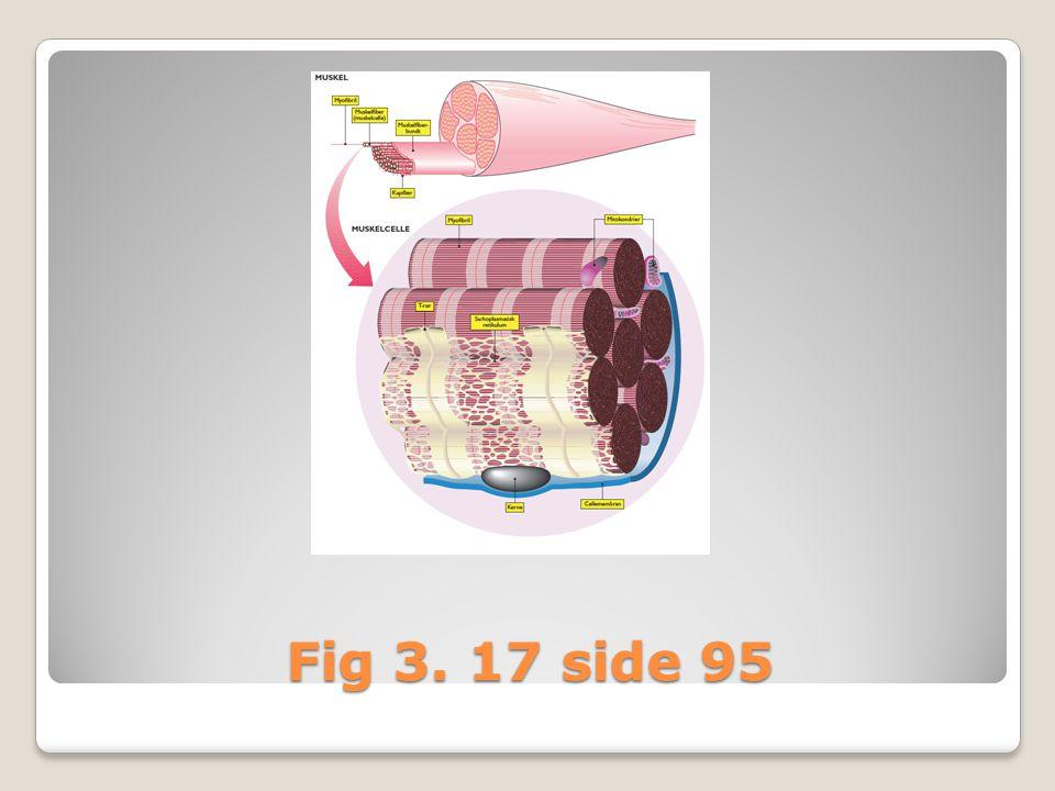 Muskelcelle = muskelfiber ◦Omgivet af cellemembran, der er foldet i musklen t–rør = transportsystem, når nervecellen stimulerer musklen ◦Har mange kerner ◦Mange mitochondrier (til energiforsyningen) ◦I muskelcellen findes mange muskelfibriller ◦Muskelfibriller er opbygget af proteinerne: actin og myosin