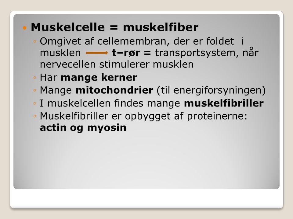 Muskelcelle = muskelfiber ◦Omgivet af cellemembran, der er foldet i musklen t–rør = transportsystem, når nervecellen stimulerer musklen ◦Har mange ker