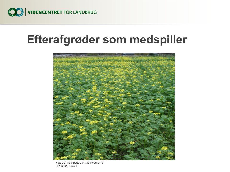 Efterafgrøder som medspiller Fotograf Inger Bertelsen, Videncentret for Landbrug, Økologi