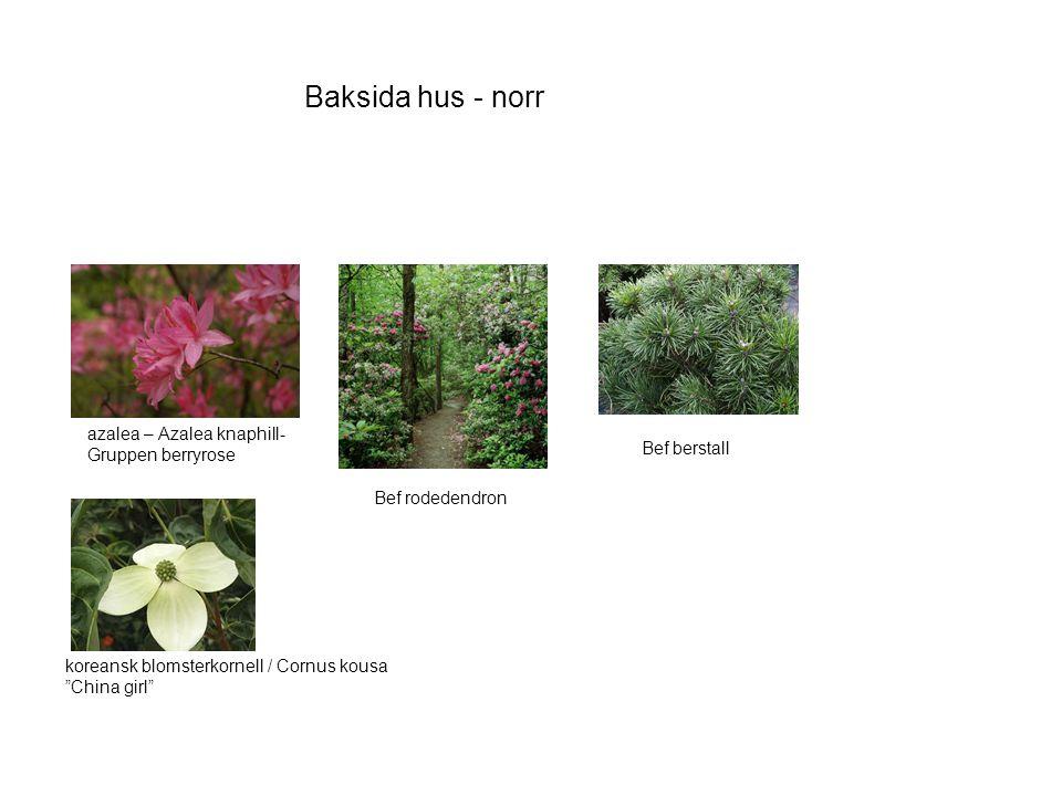 Baksida hus - norr koreansk blomsterkornell / Cornus kousa China girl Bef rodedendron Bef berstall azalea – Azalea knaphill- Gruppen berryrose