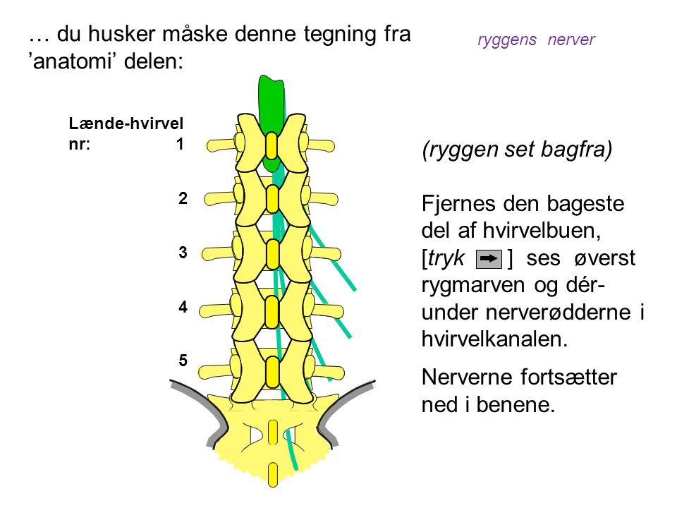 Lænde-hvirvel nr: 1 2 3 4 5 (ryggen set bagfra) Fjernes den bageste del af hvirvelbuen, [tryk ] ses øverst rygmarven og dér- under nerverødderne i hvi