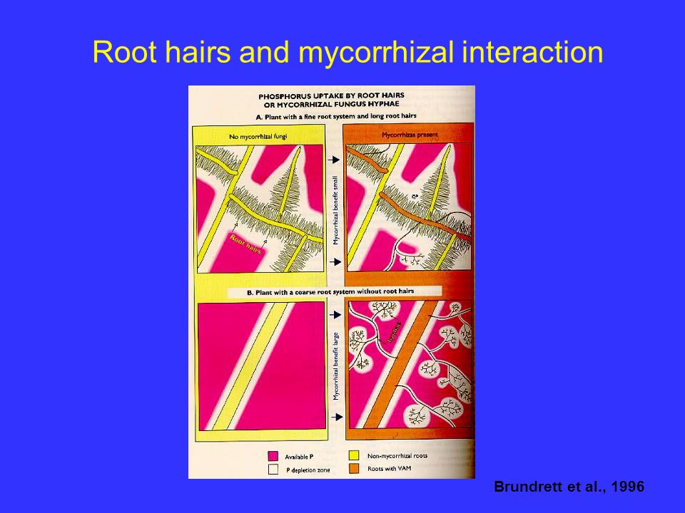 Root hairs and mycorrhizal interaction Brundrett et al., 1996