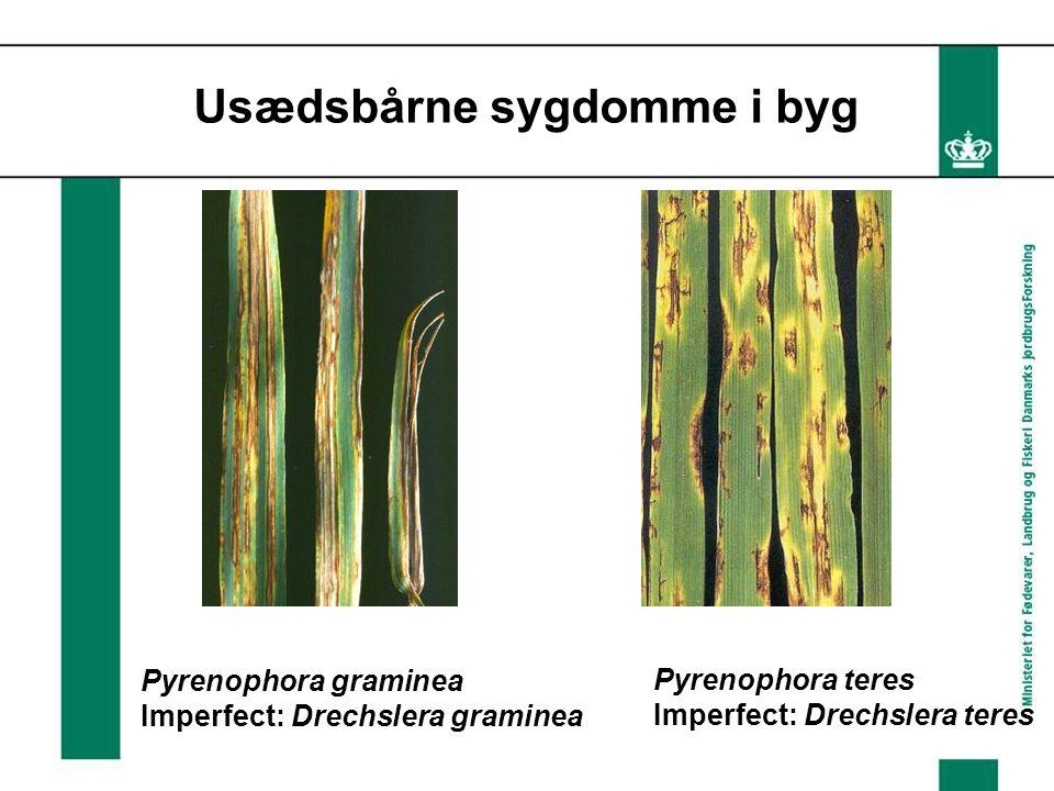 Usædsbårne sygdomme i byg Pyrenophora graminea Imperfect: Drechslera graminea Pyrenophora teres Imperfect: Drechslera teres