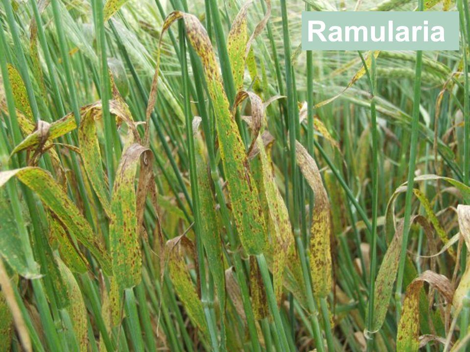 Ramularia