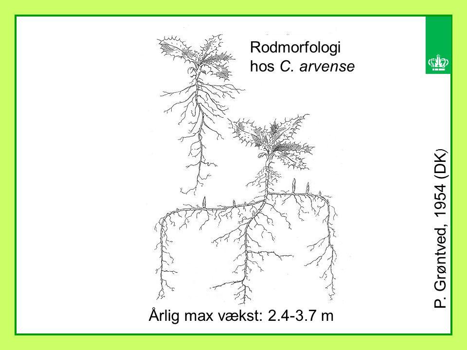 Årlig max vækst: 2.4-3.7 m P. Grøntved, 1954 (DK ) Rodmorfologi hos C. arvense